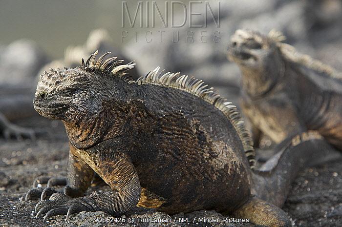 Marine iguanas (Amblyrhynchus cristatus) lying on rocks. Punta Espinosa, Fernandina Island, Galapagos Islands.