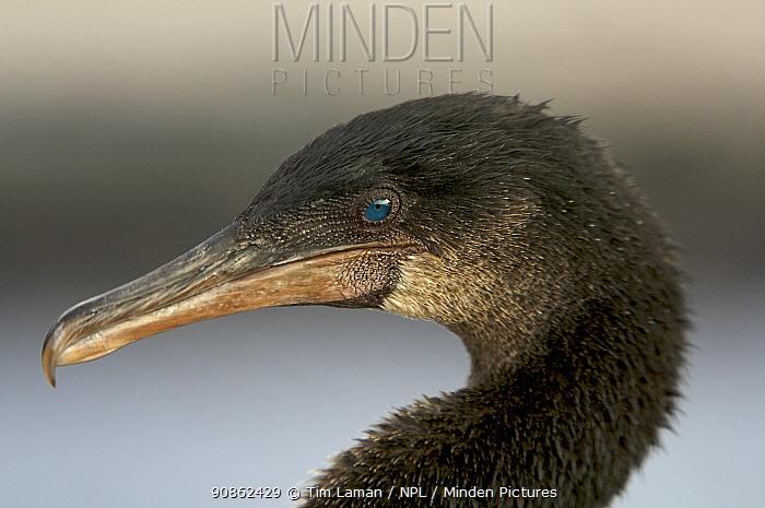 Flightless cormorant (Nannopterum harrisi / Phalacrocorax harrisi), Punta Espinosa, Fernandina Island, Galapagos Islands.