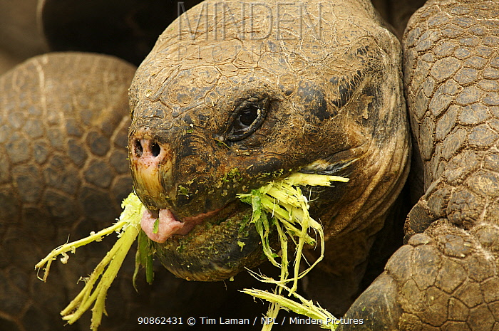 Galapagos giant tortoise (Geochelone nigra / Geochelone elephantopus) feeding (captive). Charles Darwin Research Station, Santa Cruz Island, Galapagos Islands.