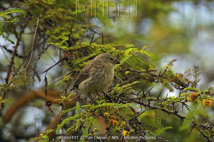 Small ground finch (Geospiza fuliginosa) perching in a tree. Santa Cruz Island, Galapagos Islands.