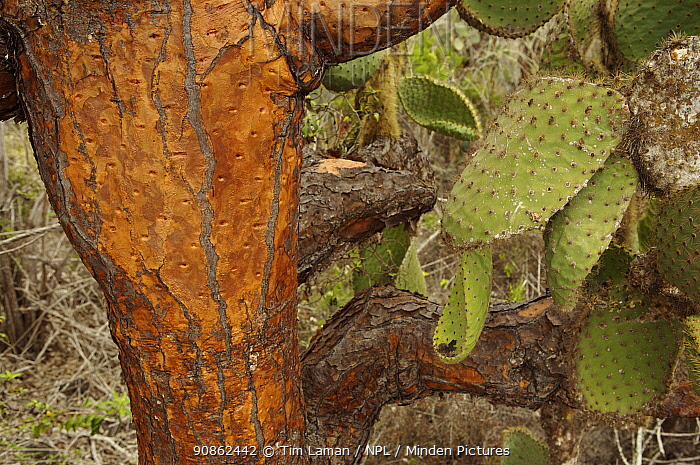 Giant prickly pear cactus (Opuntia sp.), Santa Cruz Island, Galapagos Islands.