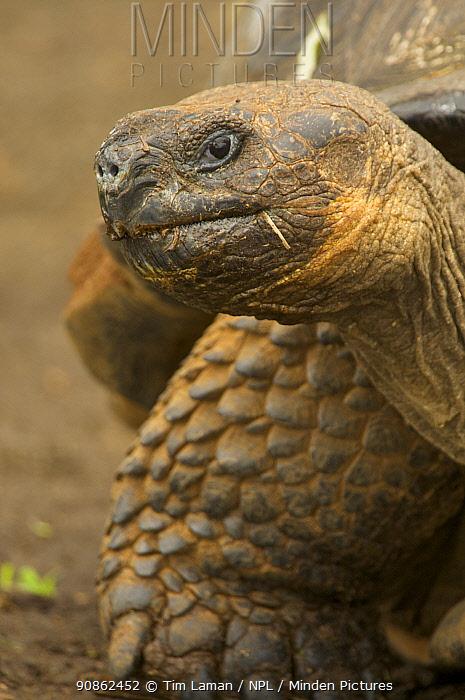 Galapagos giant tortoise (Geochelone elephantopus), Santa Cruz Island, Galapagos Islands.