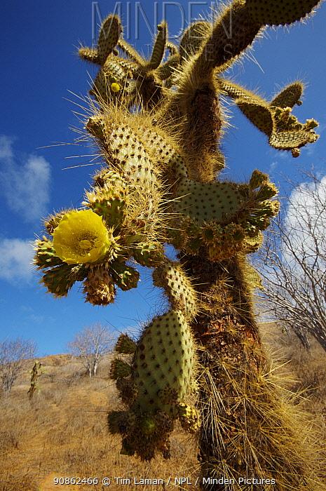 Giant prickly pear cactus (Opuntia sp.), Cerro Dragon, Santa Cruz Island, Galapagos Islands.