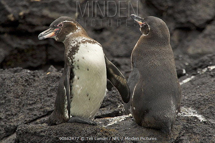 Galapagos penguins (Spheniscus mendiculus) standing on the shore, Bartolome Island, Galapagos Islands.
