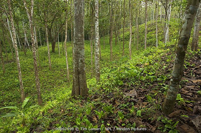 Grey teak (Tectona grandis) plantation in Palmar Norte, Puntarenas, Costa Rica.