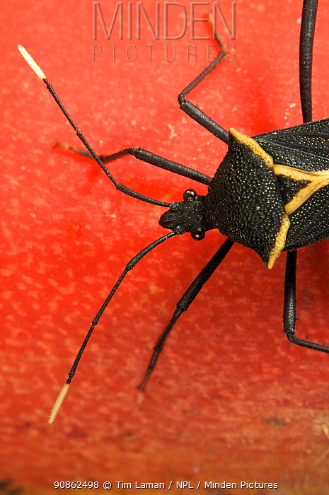 Stink bug (Hemiptera) on Heliconia flower. Piedras Blancas National Park, Esquinas Rainforest Lodge, Costa Rica.