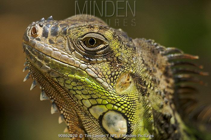 Green / Common iguana (Iguana iguana). San Jose, Costa Rica.