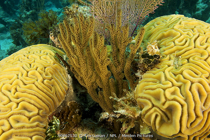 Soft coral with Brain corals. Andros Barrier Reef, Bahamas.