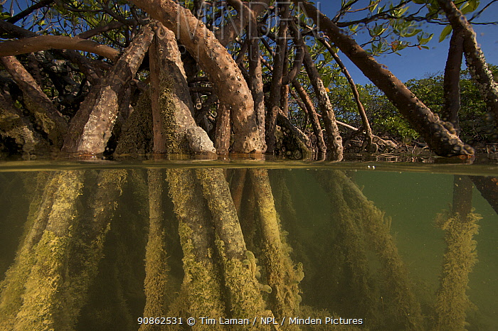 Split-level view of Red mangrove trees (Rhizophora sp) showing roots below with algae growing on them. Stafford Creek, Andros Island, Bahamas.