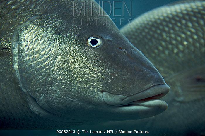 Margate grunt / gray grunt / red-mouthed grunt / white margate (Haemulon album), captive. Nassau, New Providence Island, Bahamas.