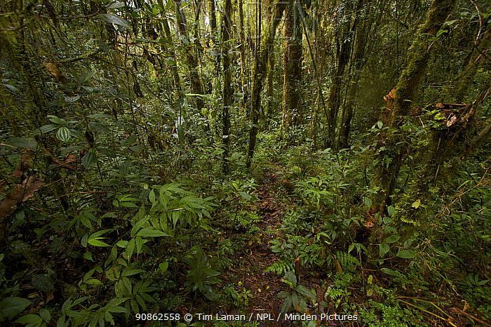Rainforest at approx. 2100m elevation. Mu Village vicinity, Chimbu Province, Papua New Guinea.