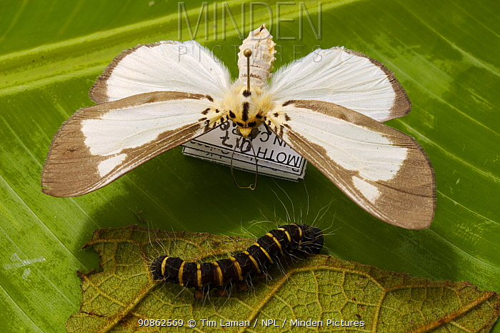 A pinned moth with a live caterpillar of the same species on its host plant leaf. Mu Village vicinity, Chimbu Province, Papua New Guinea.