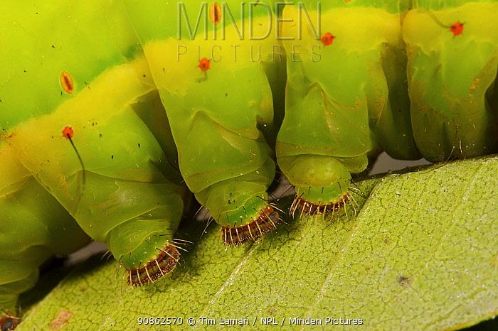 Close-up of feet of a large caterpillar. Mu Village vicinity, Chimbu Province, Papua New Guinea.