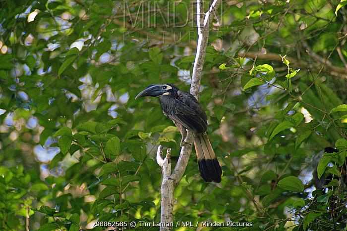 Bushy-crested Hornbill (Anorrhinus galeritus) perched. Gunung Palung National Park, Kalimantan, Borneo, Indonesia
