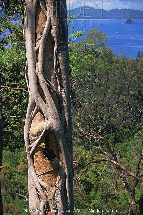 Female Knobbed hornbill (Aceros cassidix) at nest holding fruit in bill. Strangler fig tree growing on the nest tree. Tangkoko Batuangus / Dua Saudara Nature Reserve, Sulawesi Island, Indonesia.