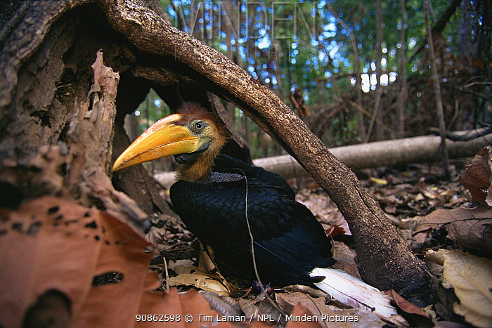 Knobbed hornbill (Aceros cassidix) fledgling chick on the ground after emerging from nest (perhaps too early to fly?) Tangkoko Batuangus / Dua Saudara Nature Reserve, Sulawesi Island, Indonesia.