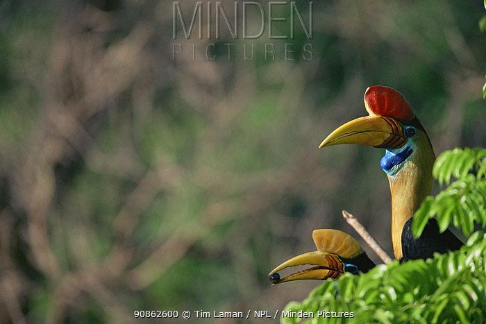 Knobbed hornbill (Aceros cassidix) male (right) and female perched in tree. Tangkoko Batuangus / Dua Saudara Nature Reserve, Sulawesi Island, Indonesia.