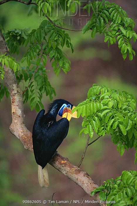 Female Knobbed hornbill (Aceros cassidix) preening in tree. Tangkoko Batuangus / Dua Saudara Nature Reserve, Sulawesi Island, Indonesia.