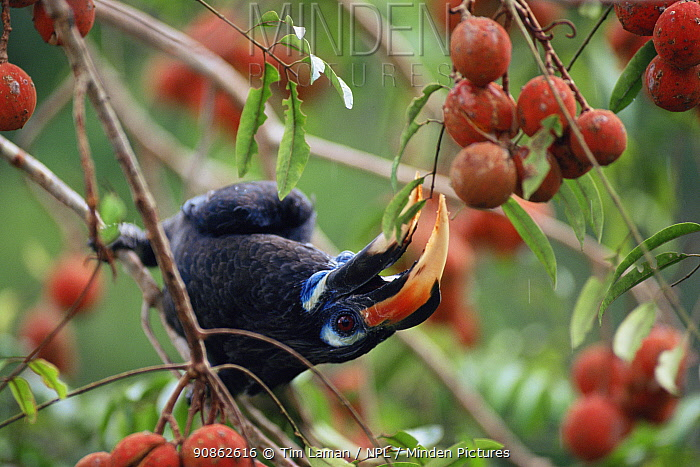 Bushy-crested hornbill (Anorrhinus galeritus) feeding on Aglaia fruit. Gunung Palung National Park, Borneo, Indonesia