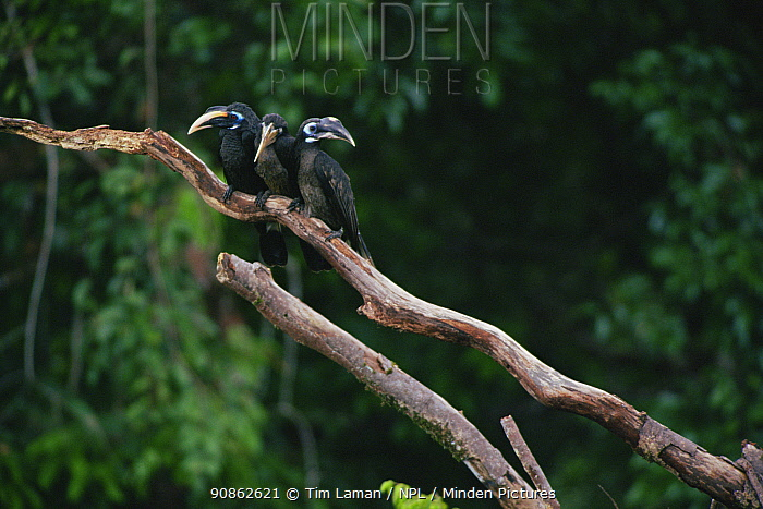 Bushy-crested hornbills (Anorrhinus galeritus) pair and juvenile perched on dead branch. Gunung Palung National Park, Borneo, Indonesia