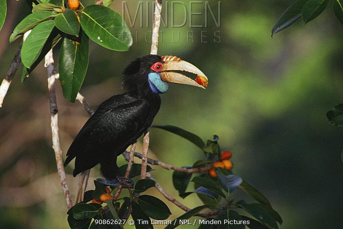 Wreathed hornbill (Rhyticeros / Aceros undulatus) female feeding in wild fig tree (Ficus stupenda) Gunung Palung National Park, West Kalimantan, Borneo, Indonesia