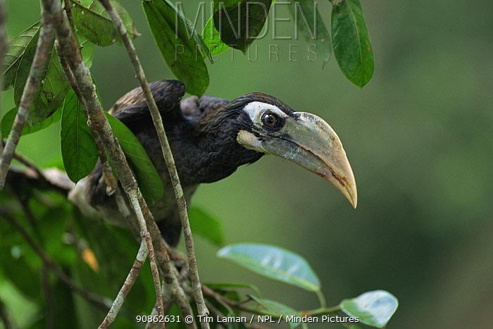 Bushy-crested hornbill (Anorrhinus galeritus) juvenile perched. Gunung Palung National Park, Borneo, Indonesia