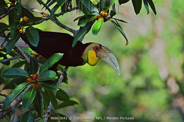 Wreathed hornbill (Rhyticeros / Aceros undulatus) male in wild fig tree (Ficus stupenda) Gunung Palung National Park, West Kalimantan, Borneo, Indonesia