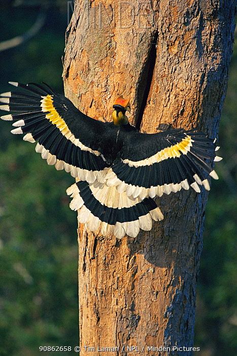 Great indian hornbill (Buceros bicornis) landing at nest hole, Khao Yai National Park, Thailand