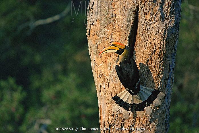 Great indian hornbill (Buceros bicornis) at nest hole, Khao Yai National Park, Thailand