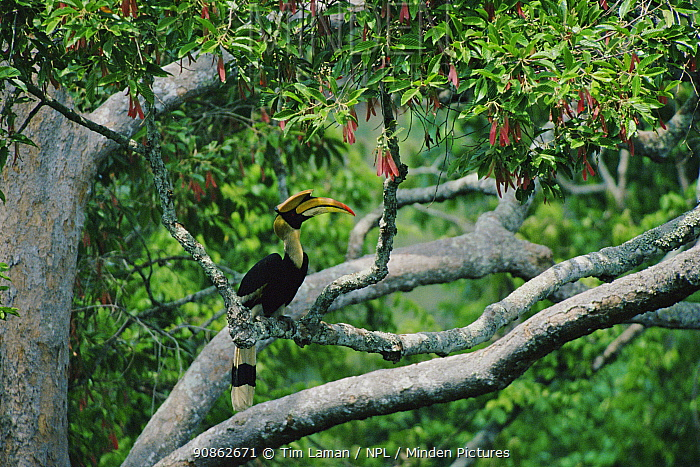 Great indian hornbill (Buceros bicornis) perched in tree, Khao Yai National Park, Thailand