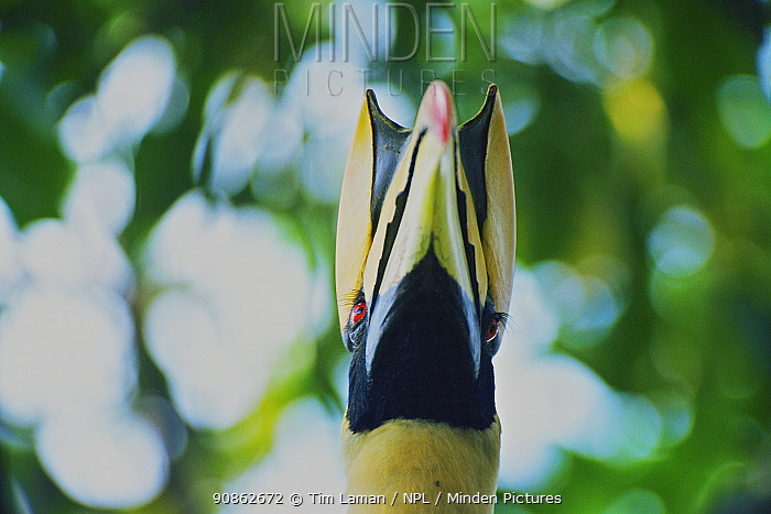 Great indian hornbill (Buceros bicornis) portrait, Khao Yai National Park, Thailand
