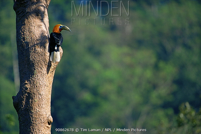 Rufous-necked hornbill (Aceros nipalensis) male perched at nest site, Huai Kha Khaeng Wildlife Sanctuary, Thailand. IUCN Vulnerable