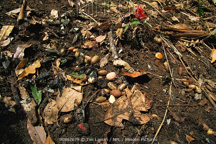 Various seeds of rainforest trees on the ground below the nest cavity, regurgitated by Rufous-necked hornbills (Aceros nipalensis) note also uneaten cicadas, Huai Kha Khaeng Wildlife Sanctuary, Thailand.