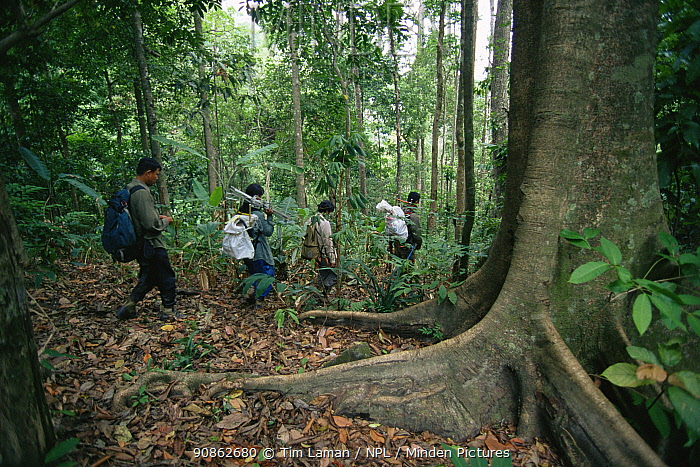 Hornbill research team led by Dr. Pilai Poonswad hiking through the rainforest in Huai Kha Khaeng Wildlife Refuge, Thailand.
