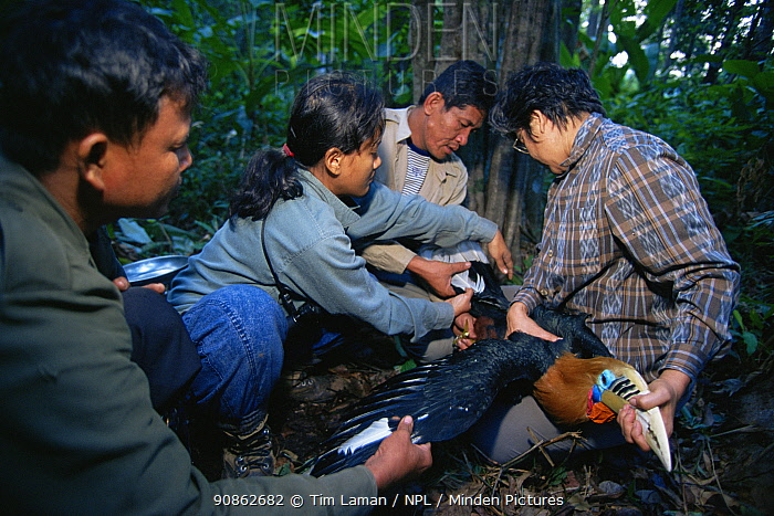 Hornbill research team led by Dr. Pilai Poonswad measure a captured Rufous-necked hornbill (Aceros nipalensis) Huai Kha Khaeng Wildlife Refuge, Thailand. IUCN Vulnerable