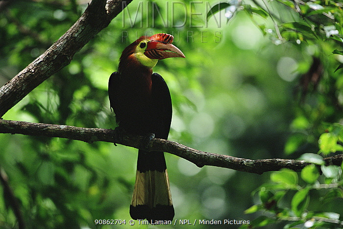 Rufous headed / Waldens hornbill (Aceros waldeni) male at nest hole. Panay Island, Philippines. Critically endangered