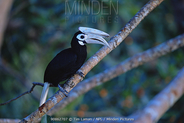 Palawan hornbill (Anthracoceros marchei) perched,  Palawan Island, Philippines. Endangered