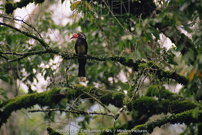 African crowned hornbill (Tockus alboterminatus) perched in the forest canopy, Kibale National Park, Uganda