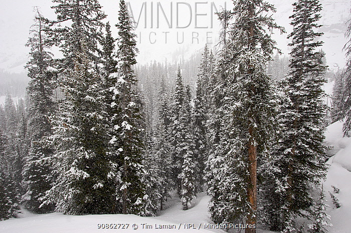 Forest on a snowy day. East Rosebud Creek drainage, Beartooth Mountains, Montana, USA. May 2008
