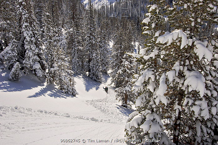 Skier Phil Atkinson skies through deep powder near Twin Outlets Lake after snow storm. Beartooth Mountains, Montana, USA. May 2008