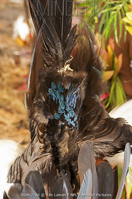 Detail of feathers of Brown Sicklebill Bird of Pardise used in traditional headdress, Western Highlands Province, Papua New Guinea. September 2004