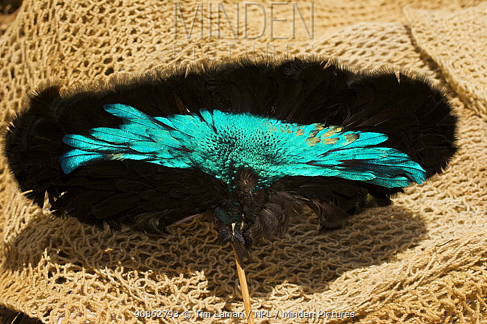Detail of feathers of Superb Bird of Paradise prepared for traditional headdress, Mount Hagen, Western Highlands Province, Papua New Guinea. September 2004