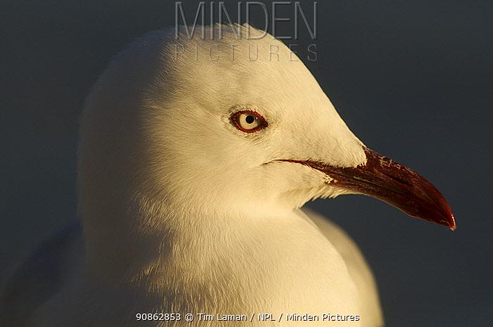 Silver gull (Chroicocephalus novaehollandiae) head portrait, Queensland, Australia
