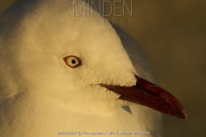 Silver gull (Chroicocephalus novaehollandiae) portrait, Queensland, Australia