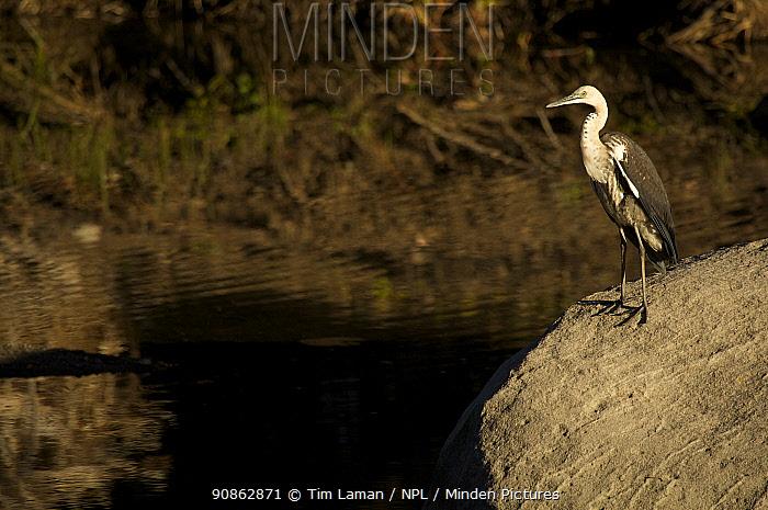 White necked / Pacific heron (Ardea pacifica) standing on rock by Carnarvon Creek, Carnarvon Gorge, Carnavon National Park, Queensland, Australia