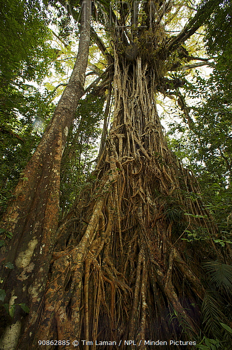 """Aerial roots of Strangler fig tree (Ficus virens) known as the """"Cathedral Fig"""", Atherton Tablelands, Queensland, Australia"""