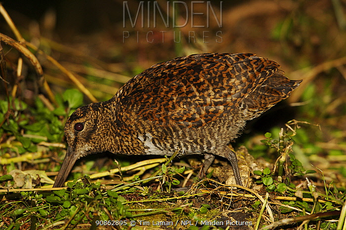 Rufous woodcock (Scolopax saturata) feeding, Mount Hagen vicinity, Enga Province, Papua New Guinea