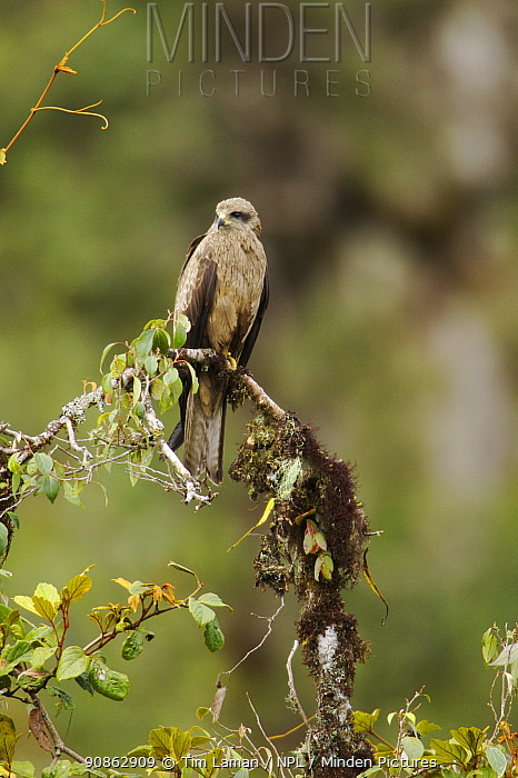 Black kite (Milvus migrans) on branch, southwestern slopes of Mt. Hage, Enga Province, Paupa New Guinea