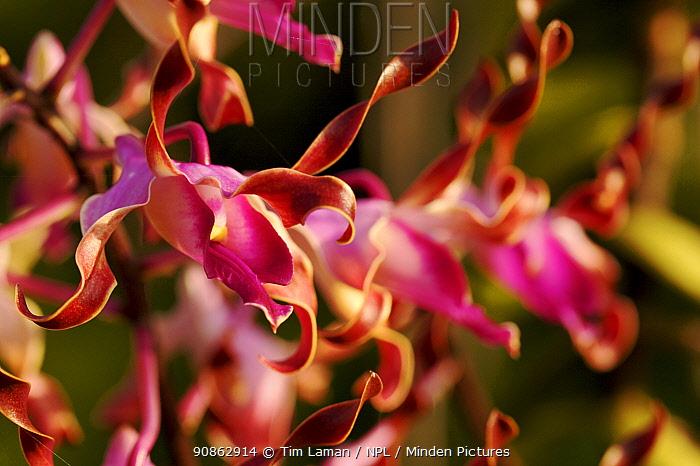 Sepik blue orchid (Dendrobium lasianthera) Karawari River vicinity, East Sepik Province, Papua New Guinea