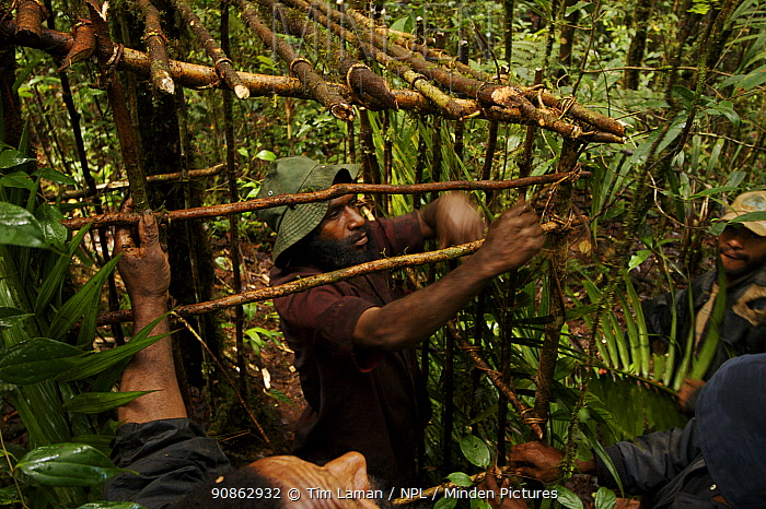 Local guides constructing a photography blind at a Lawes' parotia (Parotia lawesii) court using forest materials, Crater Mountain Wildlife Management Area, Eastern Highlands Province, Papua New Guinea, September 2005